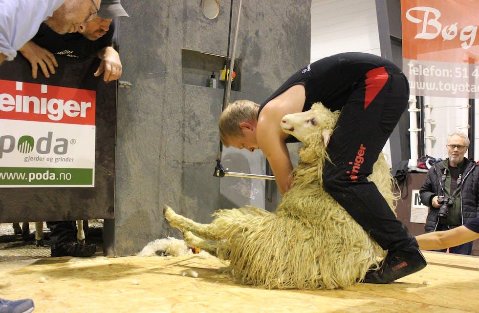 Det er hardt arbeid å klippe 12 sauer på 12 minutt og samtidig sørge for god kvalitet på arbeidet.